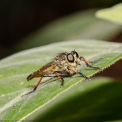 Zosteria rosevillensis (A robber fly) at ANBG - 19 Mar 2021 by Roger