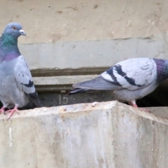 Columba livia (Rock Dove) at Wodonga - 19 Mar 2021 by Kyliegw