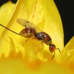 Megastigmus (genus) (Parasitic wasp) at ANBG - 18 Mar 2021 by TimL