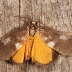 Anestia (genus) (A tiger moth) at Melba, ACT - 8 Mar 2021 by kasiaaus