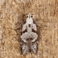Oxythecta hieroglyphica (A scat moth) at Melba, ACT - 8 Mar 2021 by kasiaaus