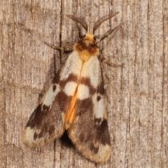 Anestia (genus) (A tiger moth) at Melba, ACT - 8 Mar 2021 by kasiaaus