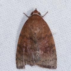 Austrocarea iocephala (Broad-headed Moth) at Melba, ACT - 8 Mar 2021 by kasiaaus