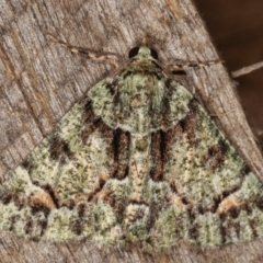 Aeolochroma metarhodata (Tea-tree Emerald) at Melba, ACT - 8 Mar 2021 by kasiaaus