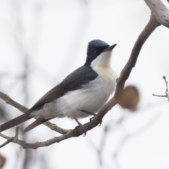 Myiagra inquieta (Restless Flycatcher) at Paddys River, ACT - 20 Mar 2021 by patrickcox