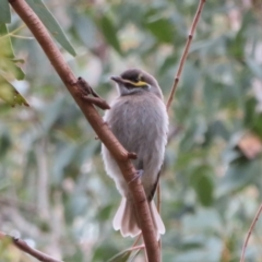 Caligavis chrysops (Yellow-faced Honeyeater) at Namadgi National Park - 20 Mar 2021 by Christine