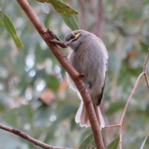 Caligavis chrysops at Namadgi National Park - 20 Mar 2021