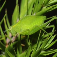 Caedicia simplex (Common Garden Katydid) at ANBG - 19 Mar 2021 by TimL