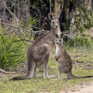 Macropus giganteus at Bundanoon, NSW - 9 Mar 2021