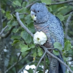 Callocephalon fimbriatum (Gang-gang Cockatoo) at Penrose - 27 Feb 2021 by Aussiegall