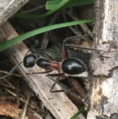 Camponotus intrepidus (Flumed Sugar Ant) at Dryandra St Woodland - 19 Mar 2021 by Ned_Johnston