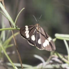 Nyctemera amicus (Senecio or Magpie moth) at The Pinnacle - 15 Mar 2021 by AlisonMilton