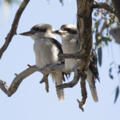 Dacelo novaeguineae (Laughing Kookaburra) at The Pinnacle - 15 Mar 2021 by AlisonMilton
