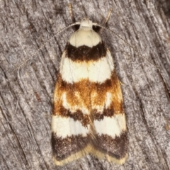 Catacometes phanozona (A Concealer moth) at Melba, ACT - 9 Mar 2021 by kasiaaus