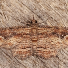 Chloroclystis filata (Filata Moth, Australian Pug Moth) at Melba, ACT - 9 Mar 2021 by kasiaaus