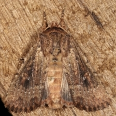 Dasygaster padockina (Tasmanian cutworm) at Melba, ACT - 9 Mar 2021 by kasiaaus