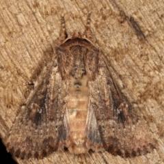 Dasygaster padockina (Tasmanian cutworm) at Melba, ACT - 9 Mar 2021 by kasiaaus