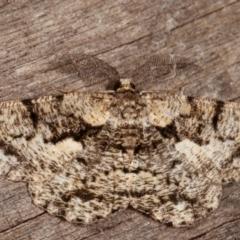 Unplaced externaria (Mahogany Bark Moth) at Melba, ACT - 9 Mar 2021 by kasiaaus