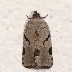 Meritastis pyrosemana (A Tortricid moth) at Melba, ACT - 9 Mar 2021 by kasiaaus