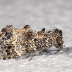 Arrade destituta (A Noctuid moth) at Melba, ACT - 9 Mar 2021 by kasiaaus
