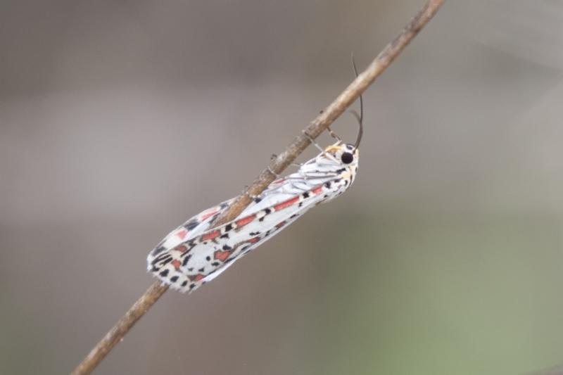 Utetheisa sp. (genus) at The Pinnacle - 16 Mar 2021