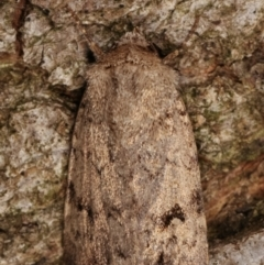 Proteuxoa capularis (Half-moon Noctuid) at Melba, ACT - 9 Mar 2021 by kasiaaus