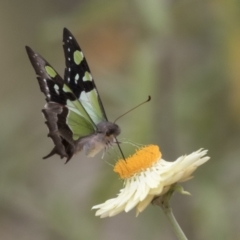 Graphium macleayanum (Macleay's Swallowtail) at ANBG - 16 Mar 2021 by AlisonMilton