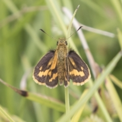 Ocybadistes walkeri (Greenish Grass-dart) at ANBG - 16 Mar 2021 by AlisonMilton