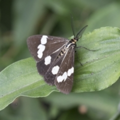 Nyctemera amicus (Senecio or Magpie moth) at ANBG - 16 Mar 2021 by AlisonMilton