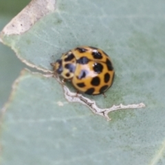Harmonia conformis (Common Spotted Ladybird) at Higgins, ACT - 11 Jan 2021 by AlisonMilton