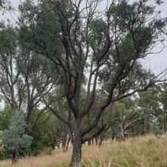 Eucalyptus macrorhyncha at Mount Painter - 19 Mar 2021