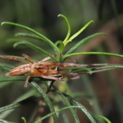 Cheiracanthium gracile (Slender sac spider) at ANBG - 19 Mar 2021 by TimL