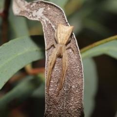 Sidymella trapezia (Crab spider) at ANBG - 19 Mar 2021 by TimL