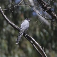 Coracina novaehollandiae (Black-faced Cuckooshrike) at Lake Ginninderra - 1 Mar 2021 by AlisonMilton