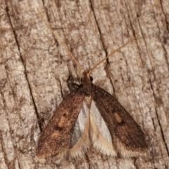 Lecithocera undescribed species nr terrigena at Melba, ACT - 10 Mar 2021 by kasiaaus