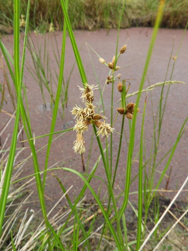 Bolboschoenus medianus at Jerrabomberra Wetlands - 17 Mar 2021