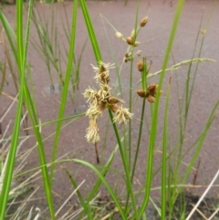 Bolboschoenus medianus (A Sedge) at Jerrabomberra Wetlands - 17 Mar 2021 by MatthewFrawley