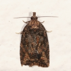 Thrincophora impletana (A Tortricid moth) at Melba, ACT - 10 Mar 2021 by kasiaaus