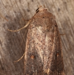 Proteuxoa porphyrescens (A Noctuid moth) at Melba, ACT - 10 Mar 2021 by kasiaaus