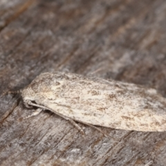 Agriophara (genus) (A concealer moth) at Melba, ACT - 10 Mar 2021 by kasiaaus
