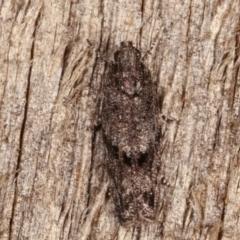 Ardozyga loxodesma (A Gelechioid moth) at Melba, ACT - 10 Mar 2021 by kasiaaus