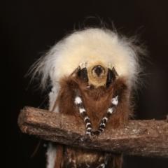 Oenosandra boisduvalii (Boisduval's Autumn Moth) at Melba, ACT - 10 Mar 2021 by kasiaaus