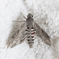 Agrius convolvuli (Convolvulus Hawk Moth) at Higgins, ACT - 17 Mar 2021 by AlisonMilton