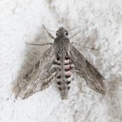 Agrius convolvuli (Convolvulus Hawk Moth) at Higgins, ACT - 17 Mar 2021 by AlisonMilton