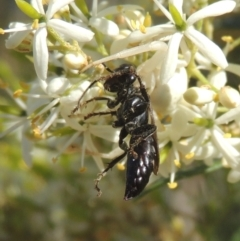 Crabroninae sp. (subfamily) (Unidentified solitary wasp) at Conder, ACT - 11 Jan 2021 by michaelb