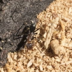 Iridomyrmex sp. (genus) (Ant) at Lake Ginninderra - 1 Mar 2021 by AlisonMilton