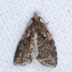 Capua intractana (A Tortricid moth) at Melba, ACT - 10 Mar 2021 by kasiaaus