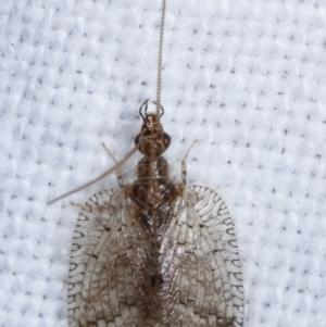 Carobius sp. (genus) at Melba, ACT - 11 Mar 2021