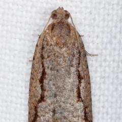 Meritastis undescribed species (A Tortricid moth) at Melba, ACT - 10 Mar 2021 by kasiaaus