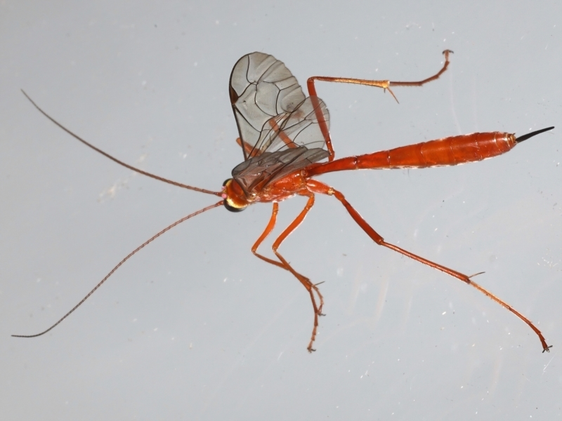 Netelia sp. (genus) at Ainslie, ACT - 20 Mar 2021